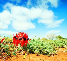 Sturt Desert Peas and the Outback Sky by DanielleQ