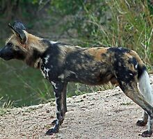 African wild dog by jozi1