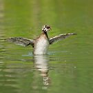 Grebe see, grebe do  by Daniel  Parent