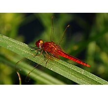 Red dragon fly Photographic Print