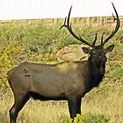 Elk with antlers by jozi1