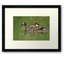 Blue-winged teal ducks Framed Print
