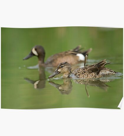Blue-winged teal ducks Poster