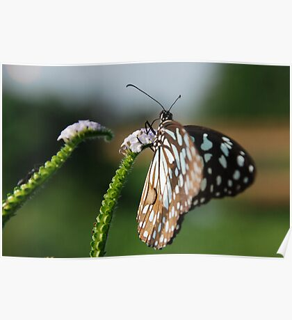 Butterfly in light and shade Poster