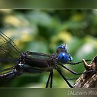 Blue eyed dragonfly by jalewin
