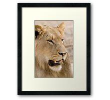 Juvenile Male Lion Framed Print