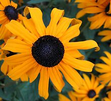 Black-eyed Susan by AvenueJ