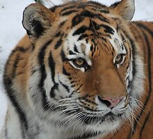 Portrait of An Amur Tiger by Michelle Kempf
