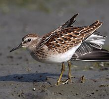 Wing Stretching Was The Least He Could Do / Least Sandpiper by Gary Fairhead