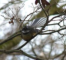 Listen to my song! - Fantail - New Zealand by AndreaEL