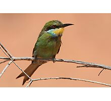 Swallow-tailed Bee-eater Photographic Print