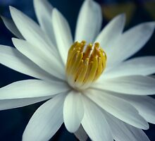 Luminous White Night Bloomer by Kerryn Madsen-Pietsch