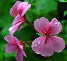 Pink Geraniums in the rain...........Dorset UK by lynn carter