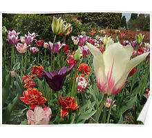 tulips at Great Comp Gardens Poster