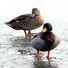 Mr & Mrs Duck by Trevor Kersley