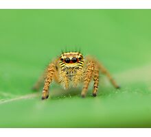 jump spider Photographic Print