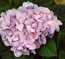 Pink Hydrangea by StonePics