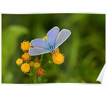 Male Common Blue Poster
