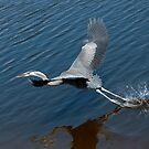 Great Blue Heron by Gouzelka
