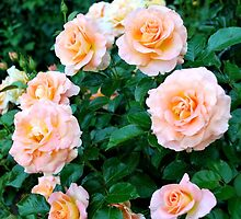 Peaches & Cream Rose Blooms - Rose Garden - Sacramento, CA by labellalotus