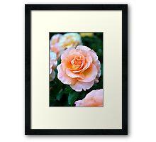 Single Peach & White Rose Bloom Framed Print