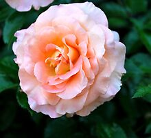 Peach & White Rose Bloom by labellalotus