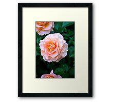Peach & White Rose Bloom Framed Print