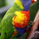 Rainbow Lorikeet by aaronb