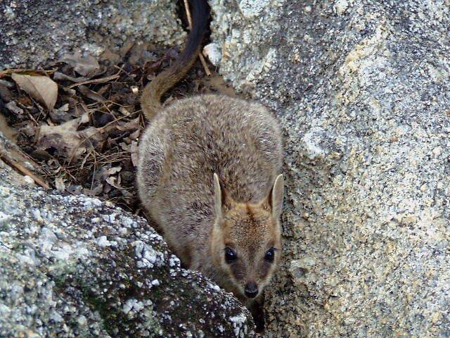 Rock wallaby by kirribas30