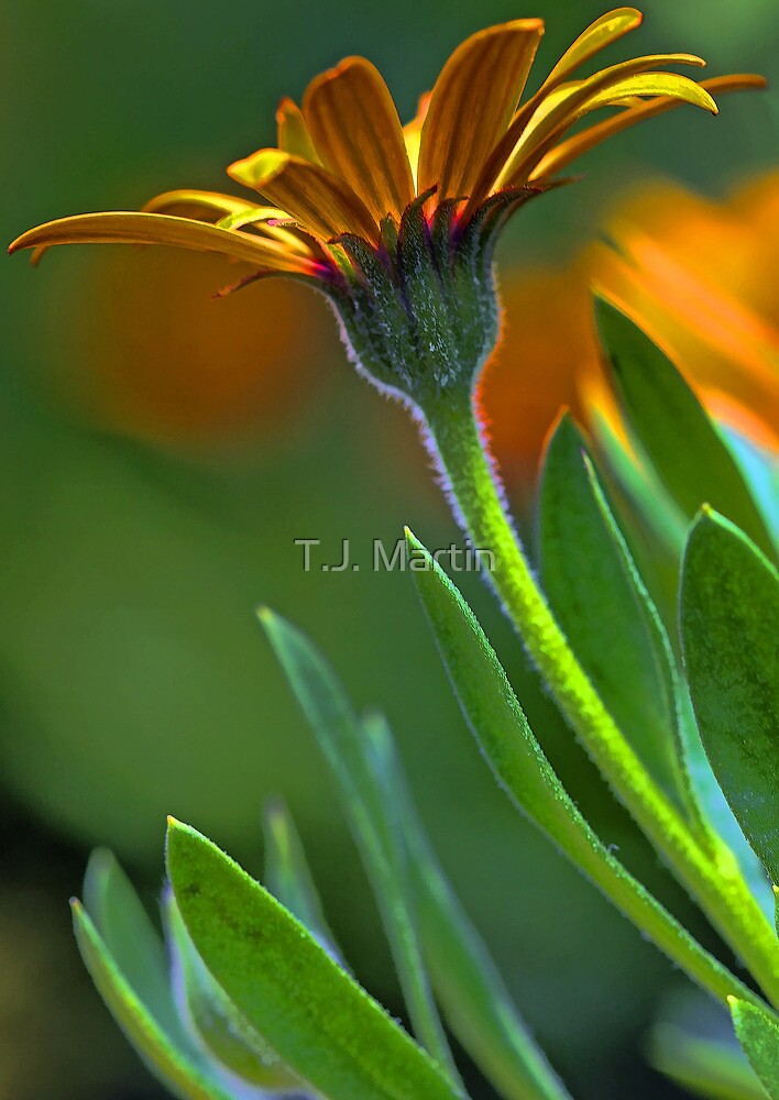 First Light - Orange Symphony African Daisy by T.J. Martin