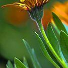 First Light - Orange Symphony African Daisy by T.J. Martin