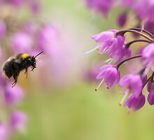 Allium Bee by Sarah-fiona Helme