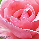 Pink Rose by Ingrid Funk