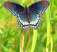 Red-Spotted Purple Admiral by DottieDees