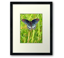 Red-Spotted Purple Admiral Framed Print
