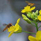 For the love of Hoverfly's. by relayer51