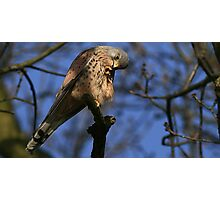 The Kestrel - None Captive Photographic Print