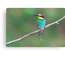 European bee-eater with insect prey Canvas Print
