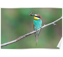 European bee-eater with insect prey Poster