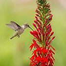 Ruby Throated Hummingbird 3-2015 by Thomas Young