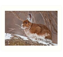 Snow Shoe Hare  Art Print
