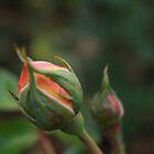 Rose in bloom by PetraJW