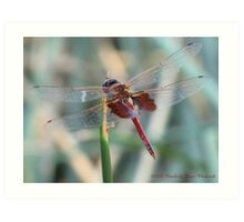 Dragonfly ~ Red Saddlebags (Male) Art Print