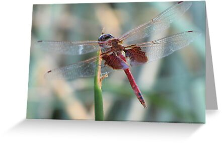 Dragonfly ~ Red Saddlebags (Male) by Kimberly Chadwick