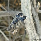 Dragonfly ~ Black Saddlebags (Male) by Kimberly Chadwick