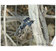 Dragonfly ~ Black Saddlebags (Male) Poster