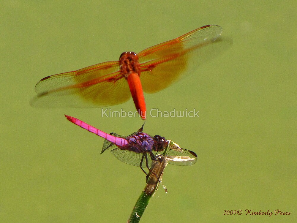 Dragonflies ~ Roseate Skimmer & Flame Skimmer by Kimberly Chadwick