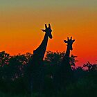 Giraffe silhouetted in the set sun by jozi1