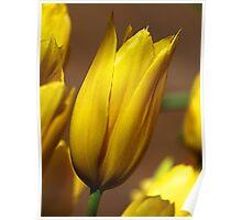 Yellow Tulips -  Dandenong Ranges. Poster