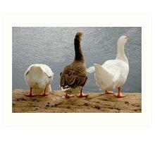 Geese at UQ Lake Art Print
